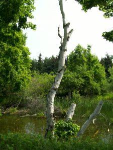 Chip Run-Cool Birch Tree