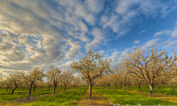 Ken Scott Sedlacek Farm Cherry Trees beginning to bloom 20130512_4875henb