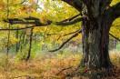 LHWFall clolor Wolf Tree
