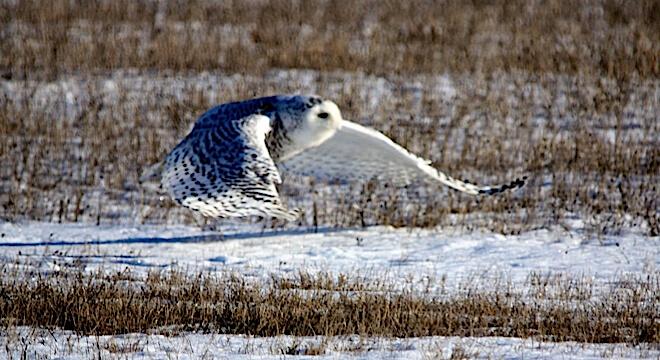 Snowy owl winter fader