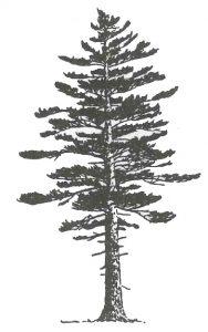white pine sketch