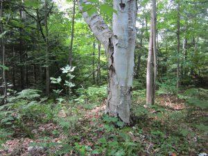 Mead property birch tree.
