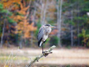 A heron rests at Kehl Lake Natural Area. Photo by Richard Gans
