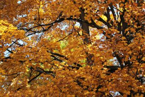 The forest canopy at the Krumweide Forest Reserve provides an array of golden hues. Photo by Maia Hausler.