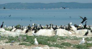 Gull-Island-Caspian-Terns-on-Bellow-Island-unknown-576x306
