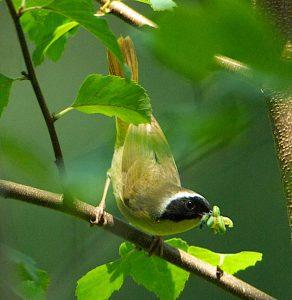 yellowthroat courtesy Saving Birds Thru Habitat