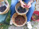 KWilliams-berries-med
